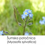 Šumska potočnica (Myosotis sylvatica)