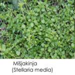 Mišjakinja (Stellaria media)