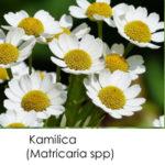 Matricaria spp-kamilica