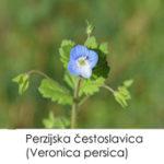 Perzijska čestoslavica (Veronica persica)