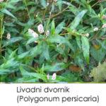 Polygonum persicaria-Livadarski dvornik